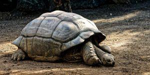 Tortugas gigantes regresan a la isla de los Galapagos luego de salvar a su especie