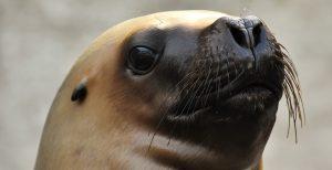 Canadá se enfrenta a un misterioso asesino en serie de leones marinos. Esto es lo que se sabe hasta el momento