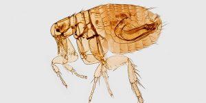 La peste bubónica aún existe: así es como se contrae y cómo tratarla